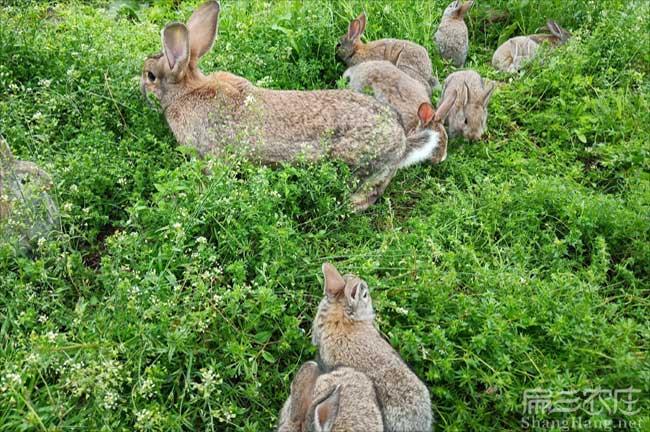 三明兔子种苗