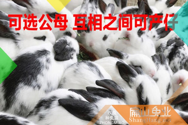 福建花蓝兔种苗