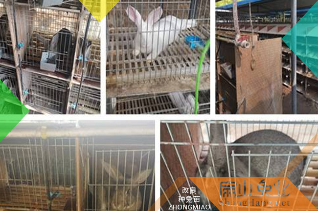 广东比利时种兔子