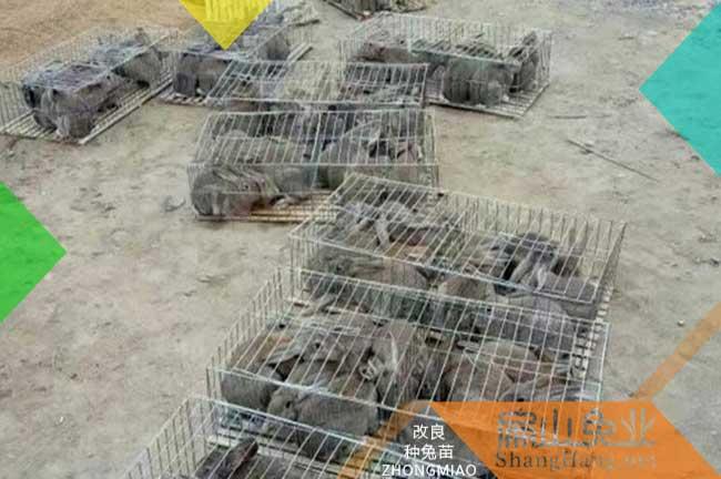 广东比利时商品兔批发