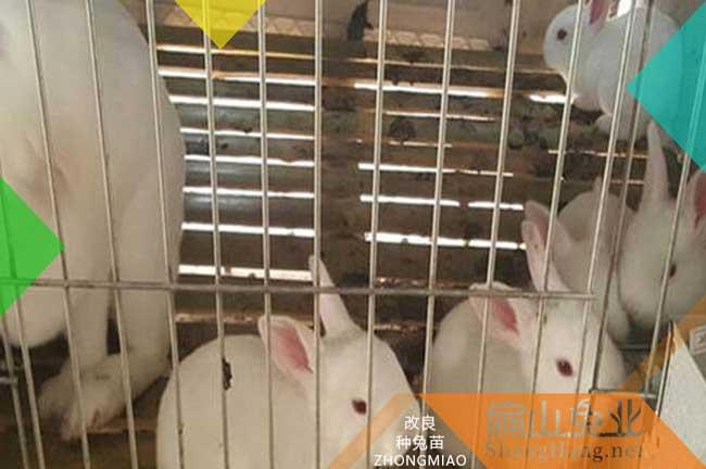 广东公羊兔养殖