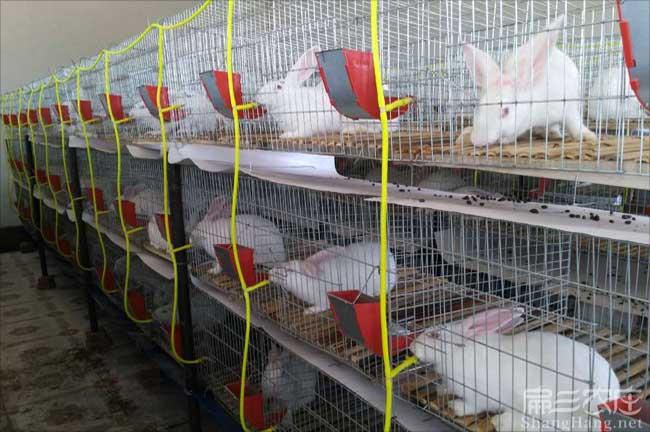 官庄兔子养殖