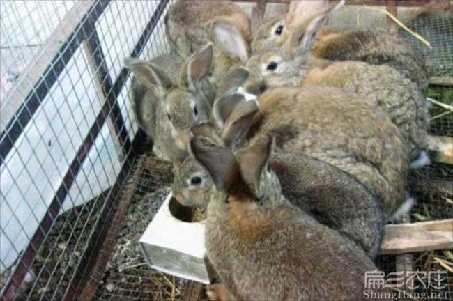 南昌野兔养殖