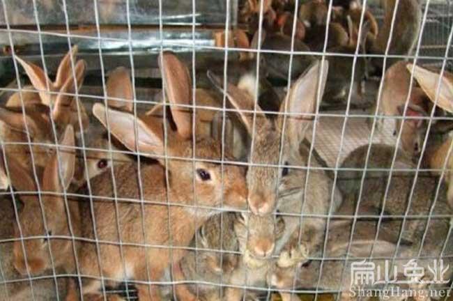 广东黄毛兔养殖