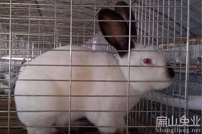 广东伊拉兔种苗