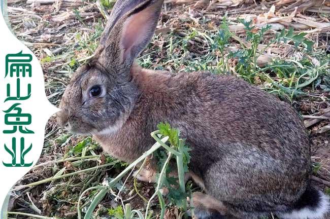 南平野兔批发