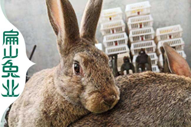 福建比利时兔种苗