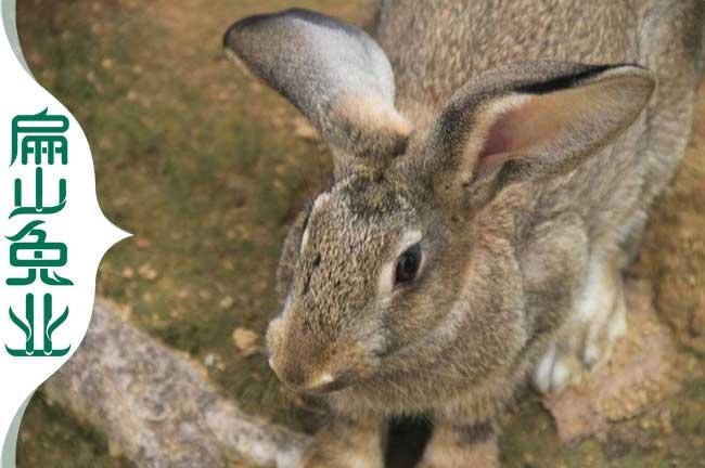 漳州花兔子养殖