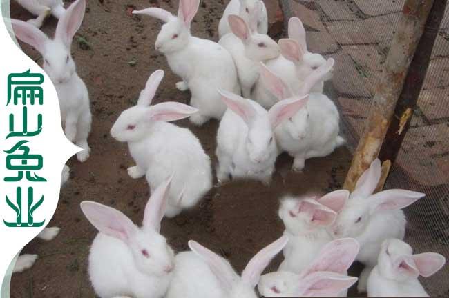 福建野兔种苗
