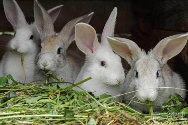 宁德家兔子种苗