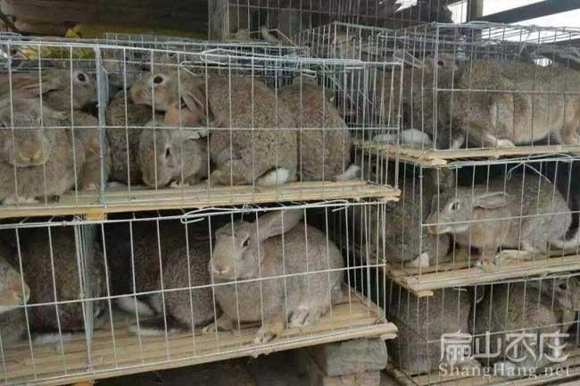 珠山野兔养殖