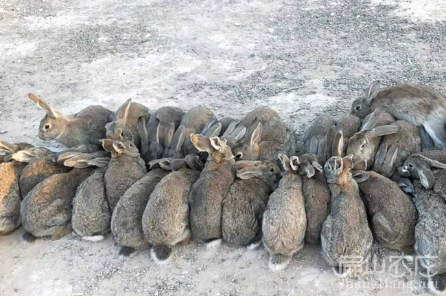 成都种兔批发