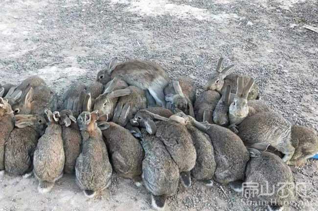 安远野兔养殖