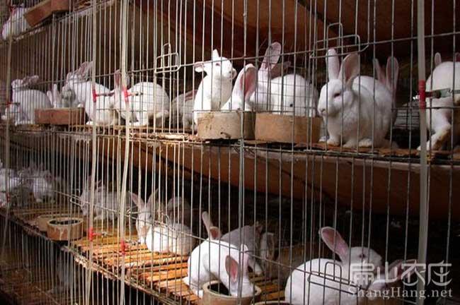 白兔子养殖