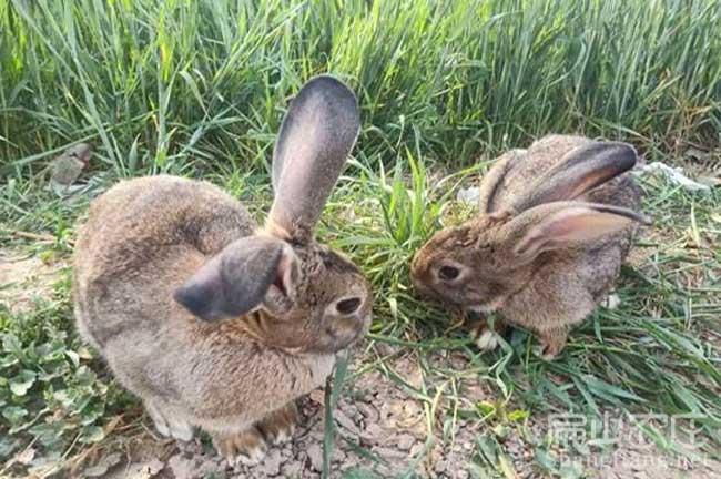 泉州野兔种苗