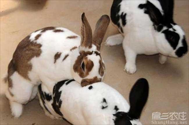 花白兔子种苗