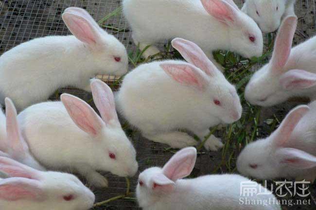 永定白兔养殖