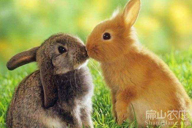 泉州兔子批发