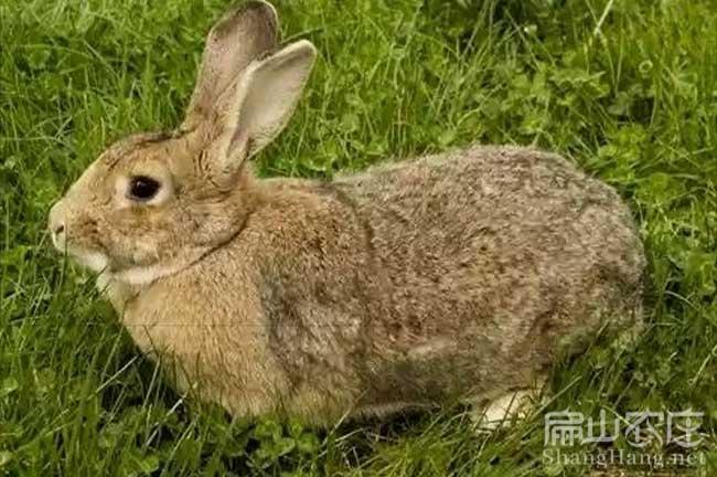 福建黄毛兔种苗