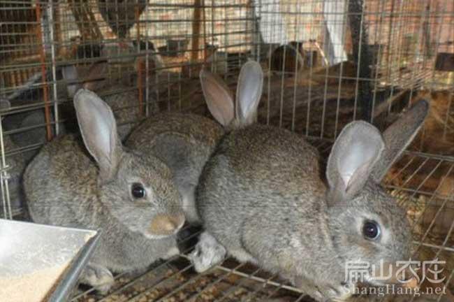龙岩野兔批发
