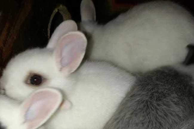 宜春白兔子养殖