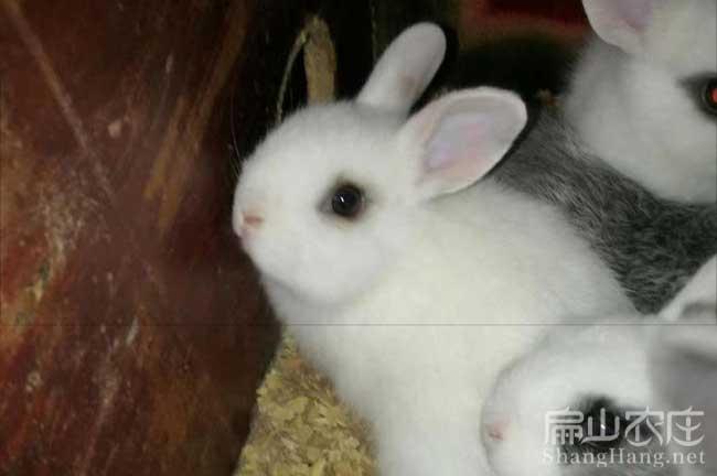 宜春白兔子种苗