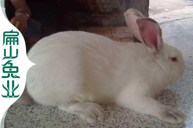 龙岩野兔种苗