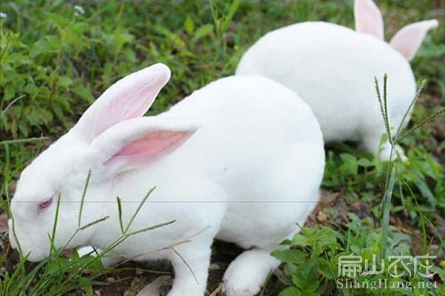 龙岩白兔种苗