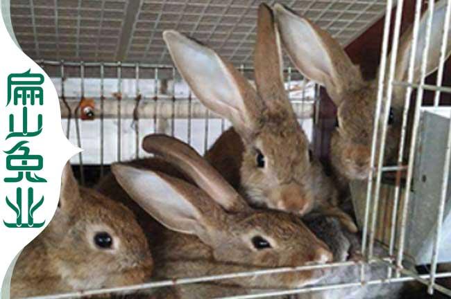 龙岩杂交兔子