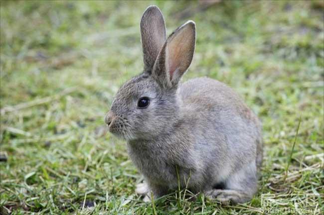 龙岩兔子种苗
