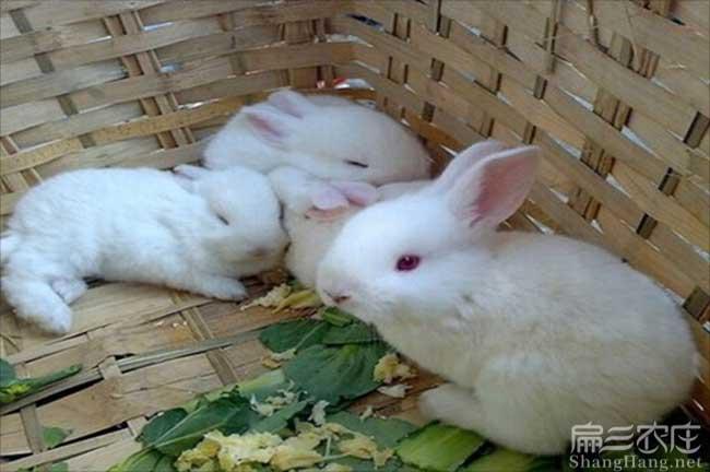 抚州白兔种苗