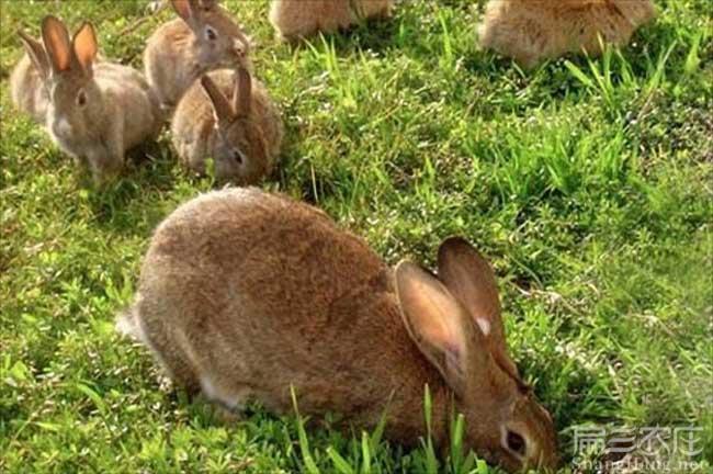 浙江西洋兔子养殖