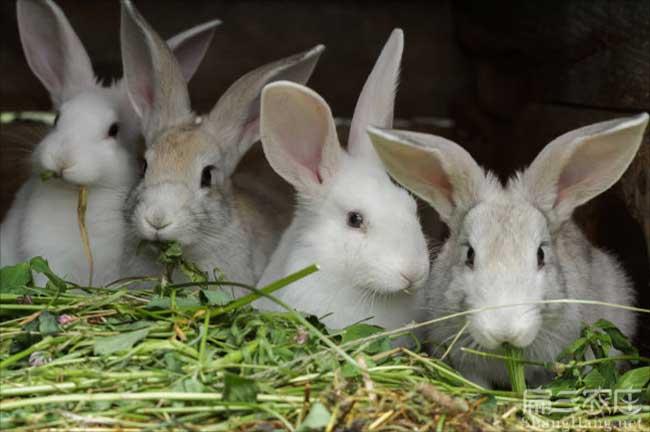 宜丰野兔种苗