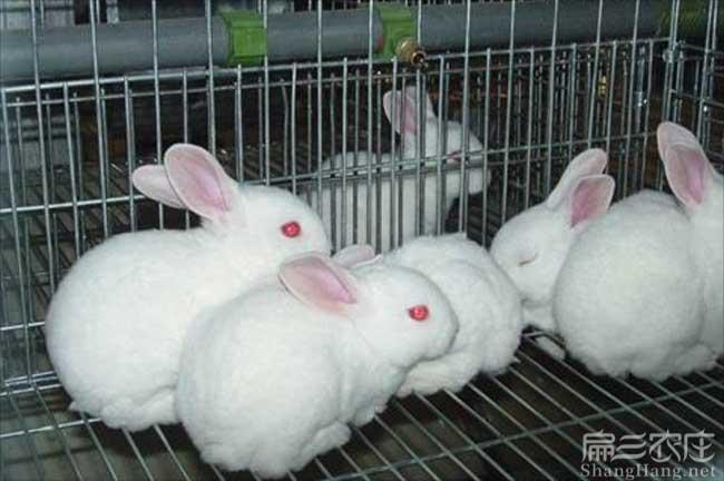 广西兔子养殖