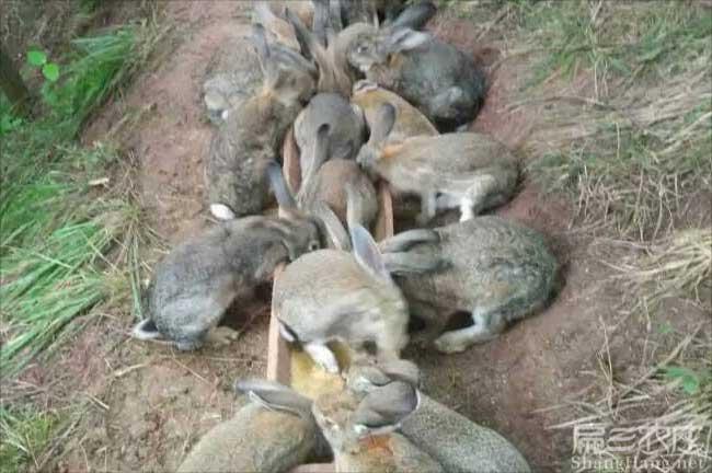 武平野兔种苗