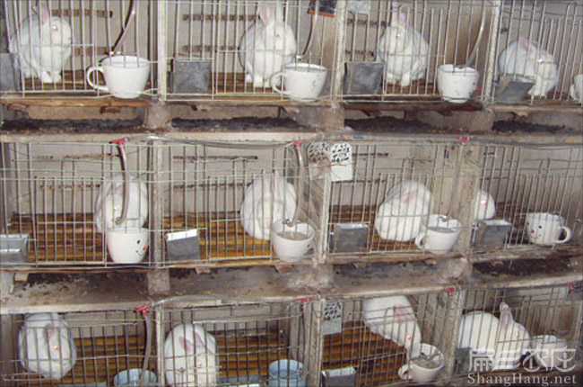 九江野兔种苗