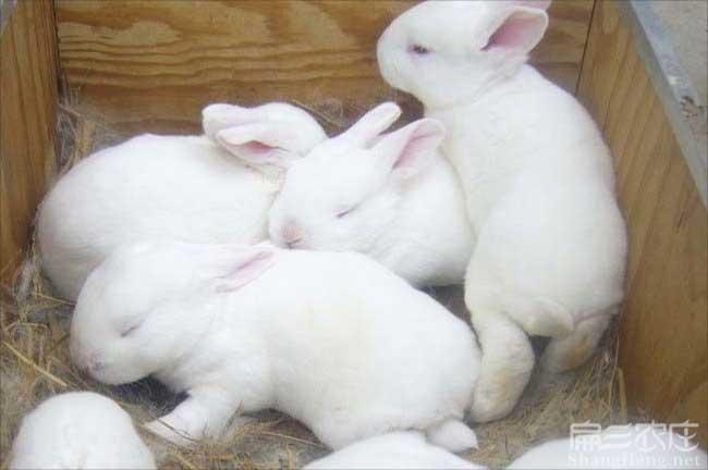 福州兔子种苗