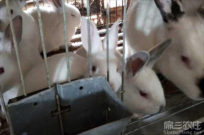 广东杂交兔基地