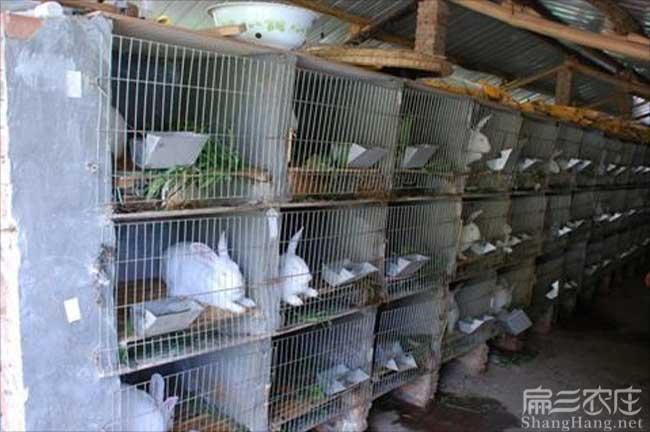 新西兰肉兔养殖