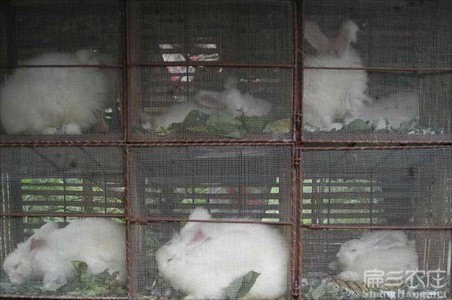 福建兔子养殖