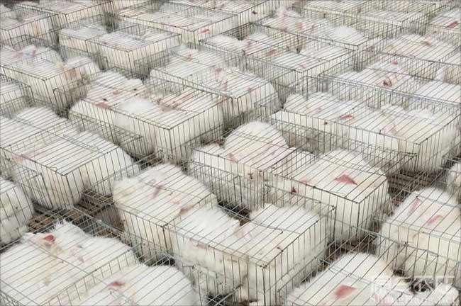 大白兔养殖