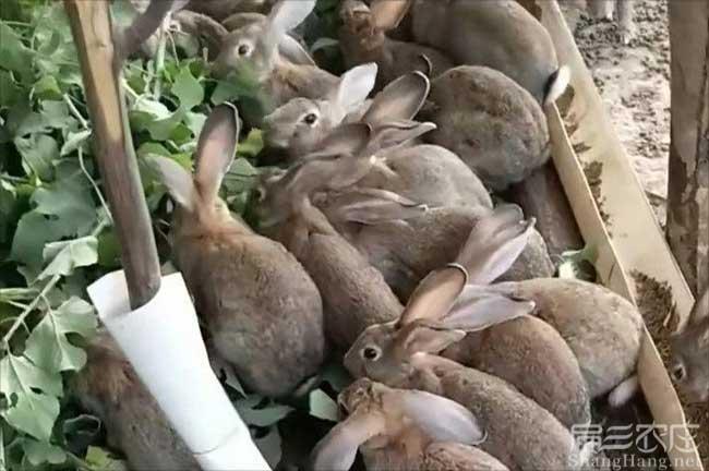 连城野兔种苗