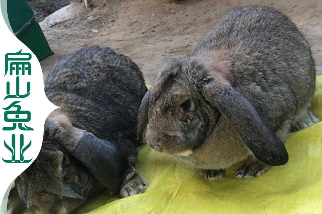 龙岩杂交兔养殖