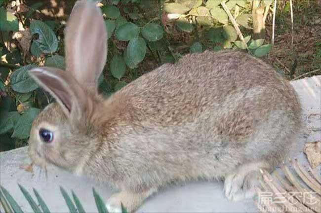 宁波黄毛兔子