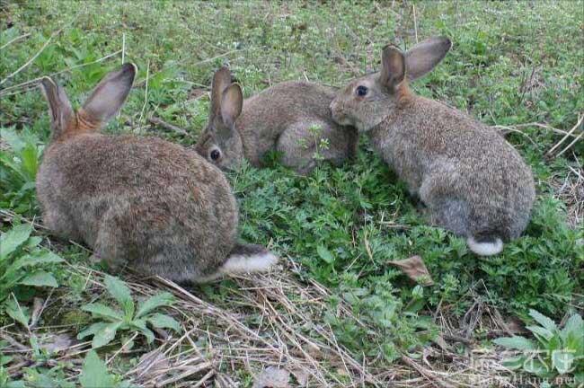 才溪野兔养殖