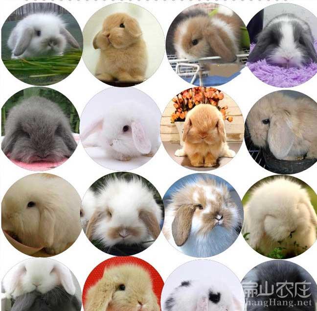 泉州兔子种苗