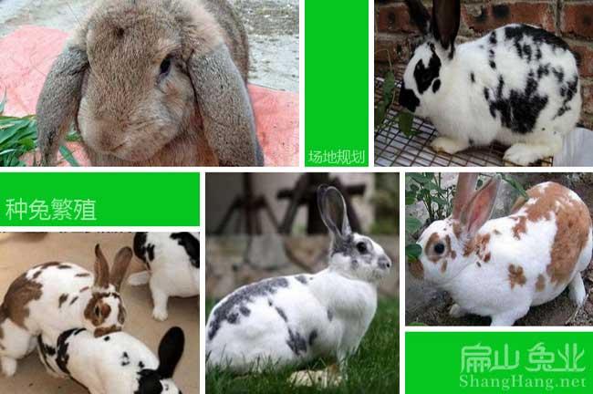 潮州八点黑种兔
