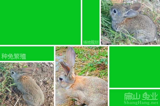 揭阳商品兔养殖