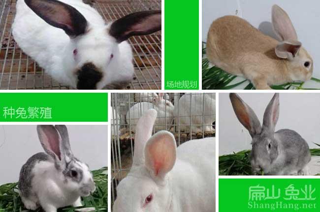 福建种兔养殖
