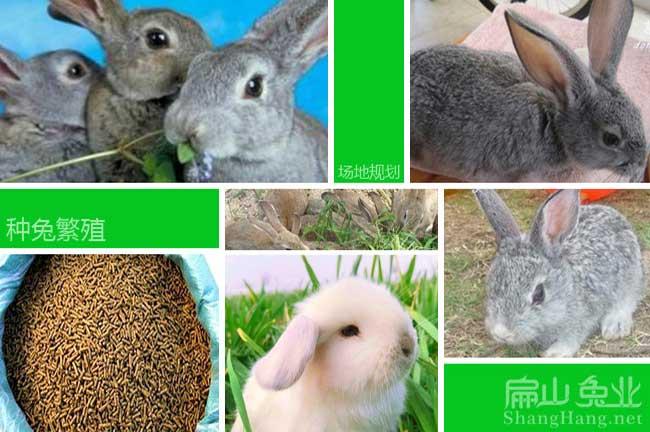 新西兰种兔繁殖